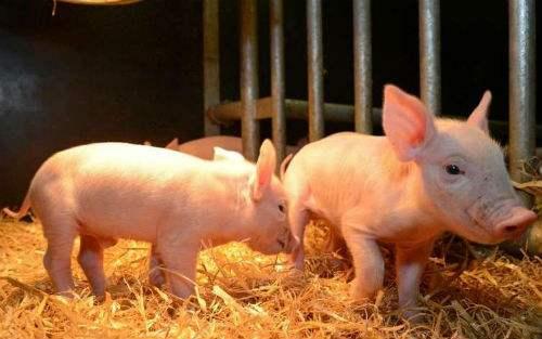 福建省尤溪县发生非洲猪瘟疫情